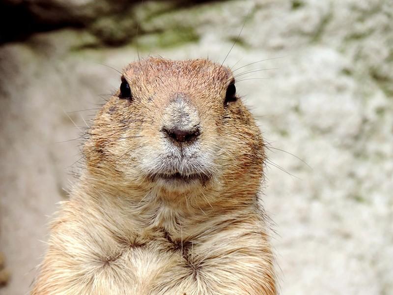 Dan mrmota ili Groundhog Day