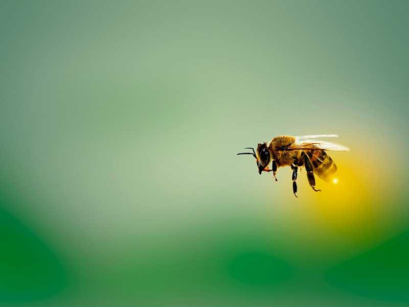 Pčela leti na zelenoj pozadini